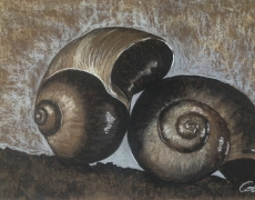 Nautilus Shells in Sepia